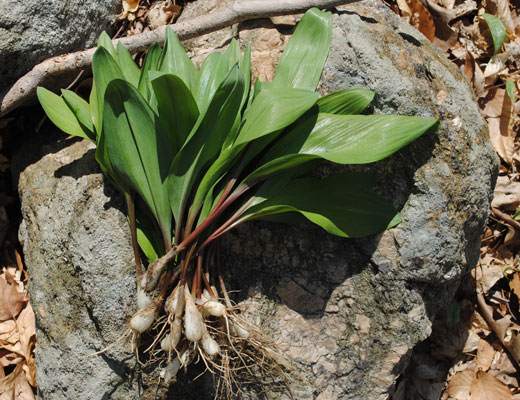 bunch of fresh picked ramps